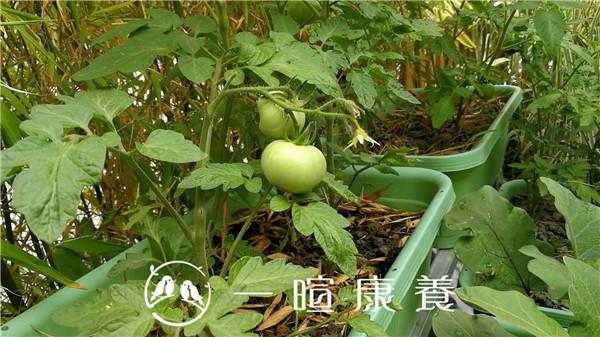 一暄康养开心农场的番茄
