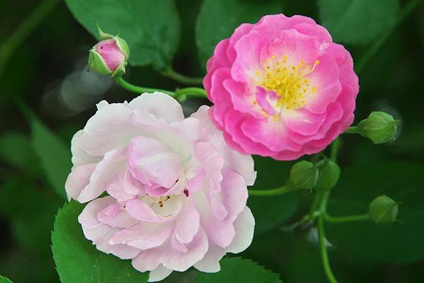 毗邻青羊的高端养老机构经验分享,春季花草推荐:蔷薇花(上)