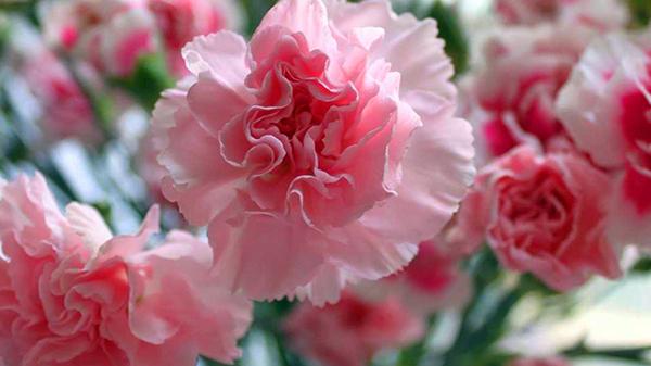一暄康养经验分享——适合老年人种植的花草推荐:康乃馨
