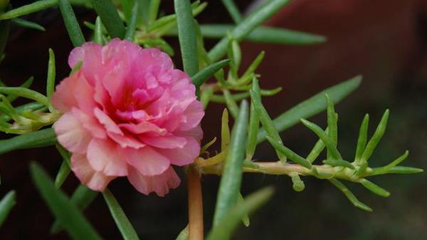 一暄康养经验分享——适合老年人种植的花草推荐:半支莲
