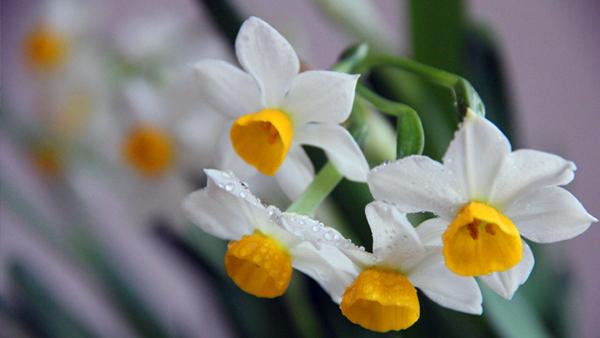成都高端养老院一暄康养经验分享——适合老年人种植的花草推荐:水仙1