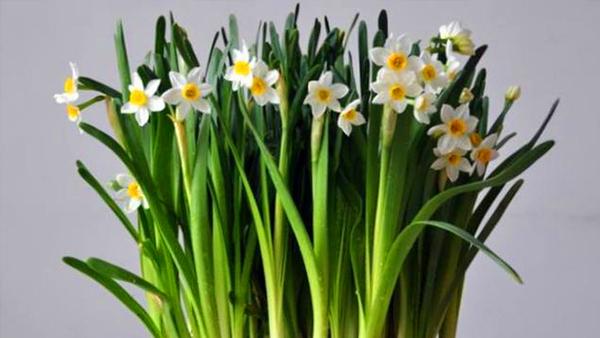 成都高端养老院一暄康养经验分享——适合老年人种植的花草推荐:水仙2