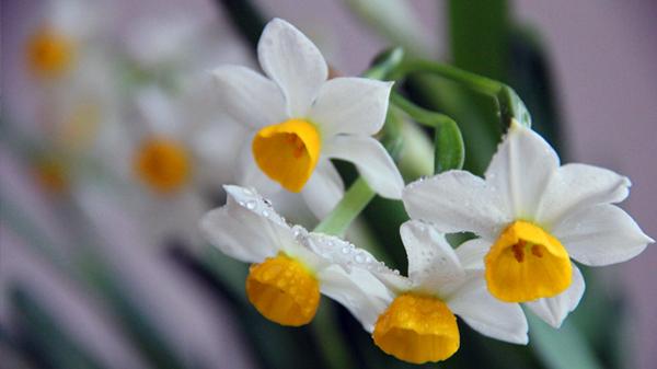 一暄康养经验分享——适合老年人种植的花草推荐:水仙