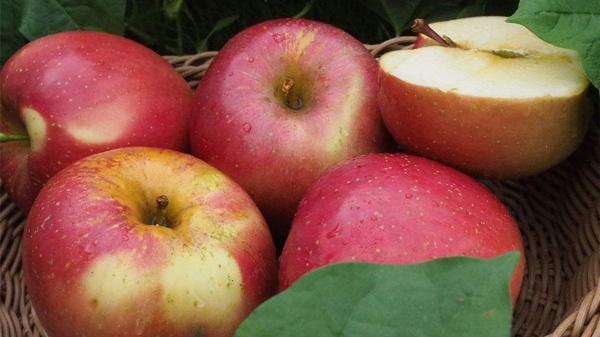 适合高龄老人吃的水果,成都养老院一暄康养为您介绍-苹果