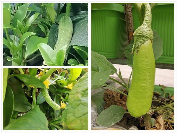 成都金牛区养老院一暄康养开心农场的黄瓜和茄子
