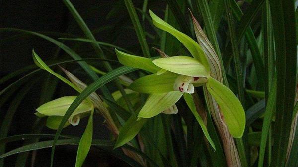 成都高端养老院一暄康养经验分享——适合老年人种植的花草推荐:兰花2
