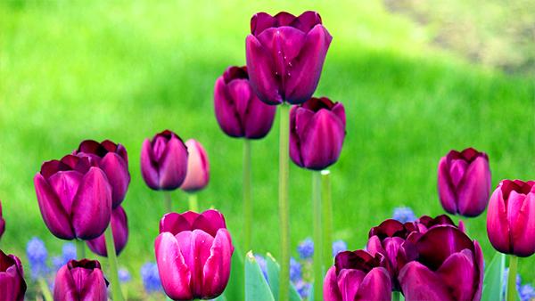 成都高端养老院一暄康养经验分享——适合老年人种植的花草推荐:郁金香2