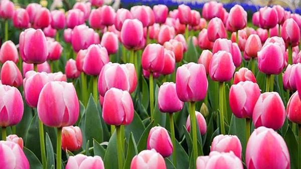 一暄康养经验分享——适合老年人种植的花草推荐:郁金香