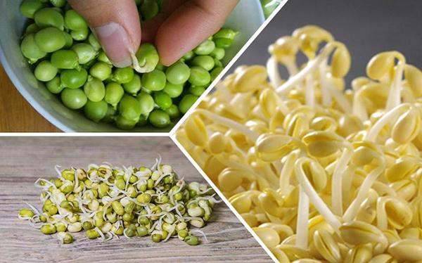 豆类食物发芽