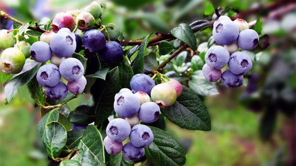 成都养老院一暄康养提醒多吃这些水果,老了眼睛也不怕-蓝莓