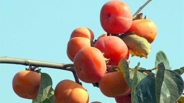 成都服务好的养老院一暄康养为您介绍不太适合中老年人吃的水果-柿子
