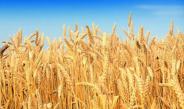 成都青羊区养老院一暄康养介绍老年人吃什么可以治疗失眠-小麦3