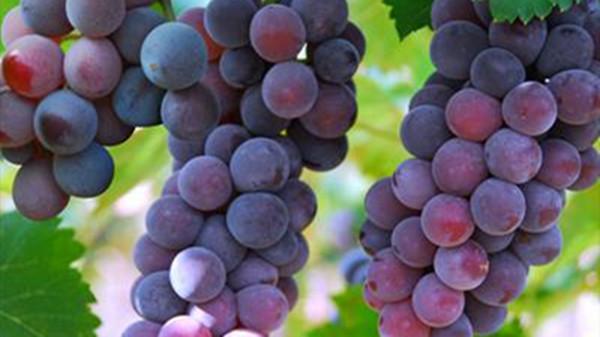 成都养老院一暄康养提醒9种水果可以肝脏护理(2)-葡萄1