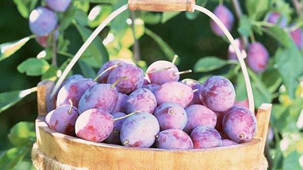 成都养老院一暄康养提醒9种水果可以肝脏护理(3)-乌梅2
