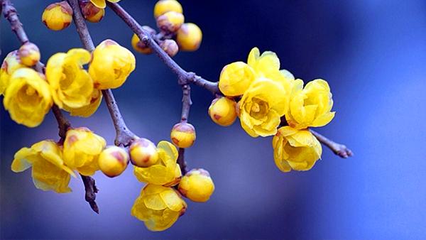 成都高端养老院一暄康养经验分享——适合老年人种植的花草推荐:腊梅1