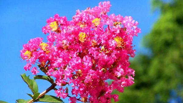 成都高端养老院一暄康养经验分享——适合老年人种植的花草推荐:紫薇2