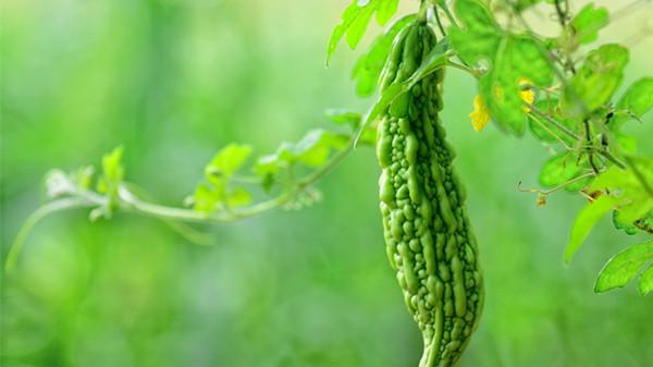 成都养老院经验分享家庭清火排毒蔬菜推荐——苦瓜
