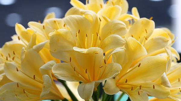 一暄康养经验分享——适合老年人种植的花草推荐:君子兰