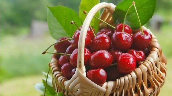 成都高端养老院一暄康养提醒樱桃尝鲜小贴士 (3)
