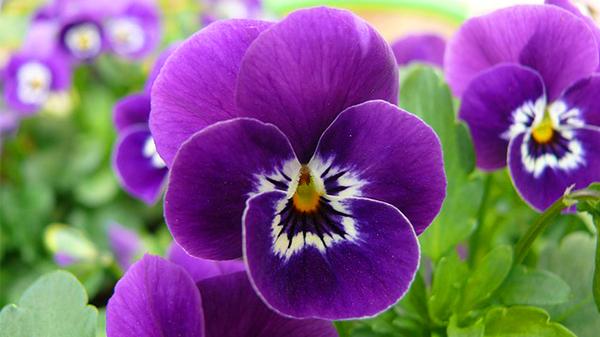 一暄康养经验分享——适合老年人种植的花草推荐:三色堇