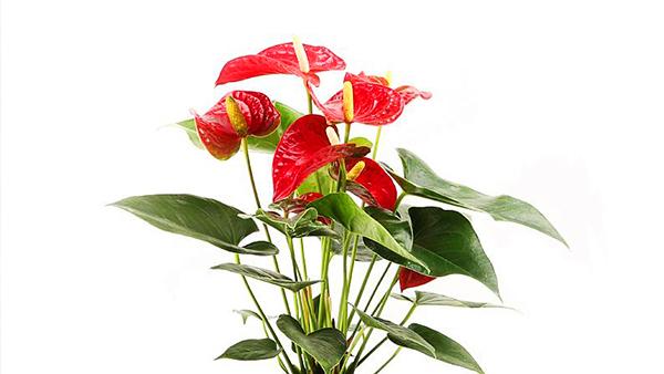成都高端养老院一暄康养经验分享——适合老年人种植的花草推荐:红掌1