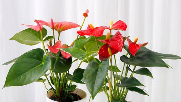 一暄康养经验分享——适合老年人种植的花草推荐:红掌