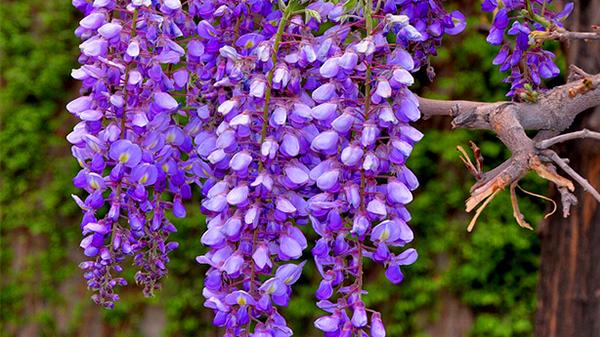 一暄康养经验分享——适合老年人种植的花草推荐:紫藤