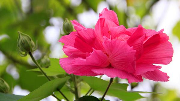 一暄康养经验分享——适合老年人种植的花草推荐:木芙蓉