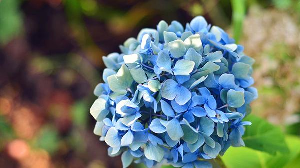 一暄康养经验分享——适合老年人种植的花草推荐:绣球花