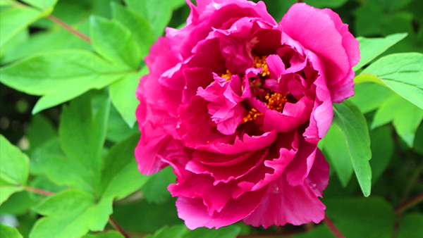 成都高端养老院一暄康养经验分享——适合老年人种植的花草推荐:牡丹2