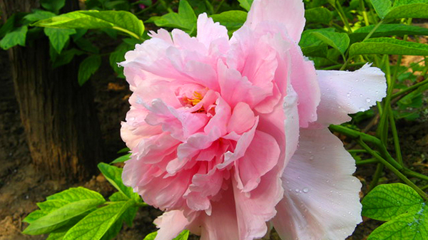 一暄康养经验分享——适合老年人种植的花草推荐:牡丹