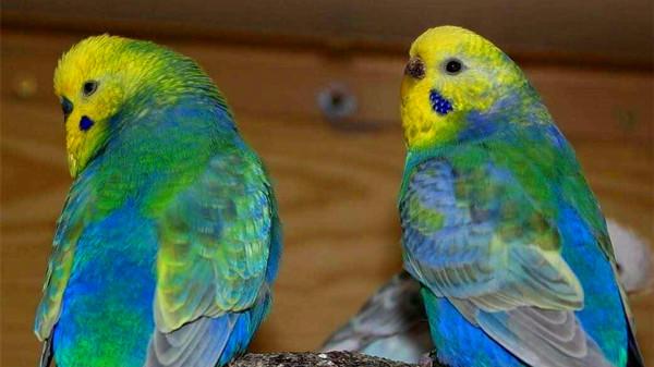 成都文化生活丰富的养老院一暄康养带您了解虎皮鹦鹉品种之——彩虹种1
