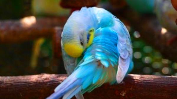 一暄康养带您认识虎皮鹦鹉的彩虹种2