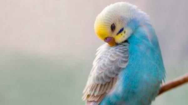 一暄康养带您认识虎皮鹦鹉的黄脸种2
