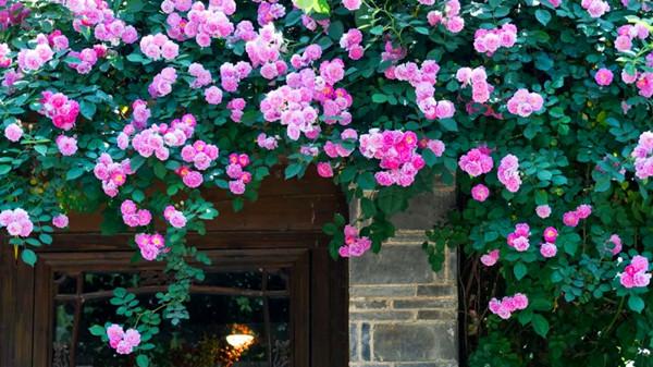 毗邻青羊的高端养老机构经验分享,春季花草推荐:蔷薇花(下)