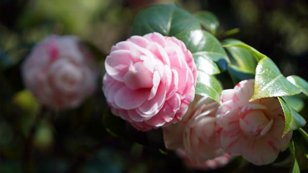 毗邻青羊的高端养老院经验分享,春季花草推荐:茶花(上)