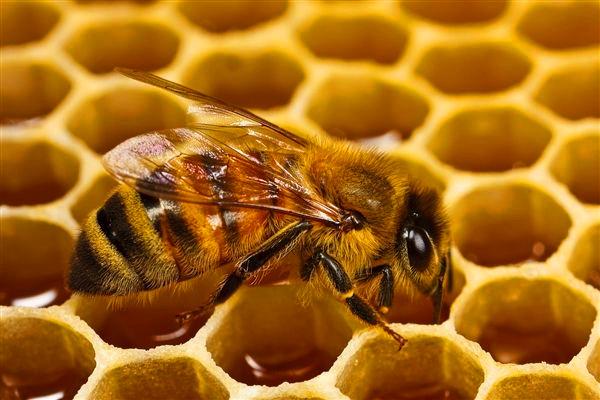 成都好的养老院-一暄康养介绍中老年人吃蜂王浆注意事项(二)-蜜蜂1
