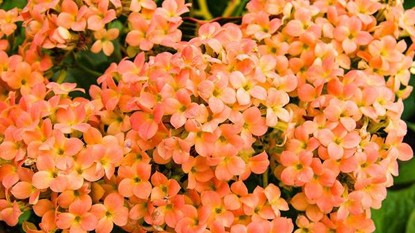 一暄康养经验分享——适合老年人种植的花草推荐:长寿花