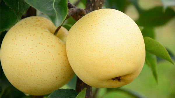 冬季吃对这8种水果,肌肤越变越水润(下)-梨