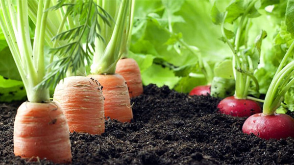 成都养老院经验分享:【养生】家庭清火排毒蔬菜推荐——胡萝卜