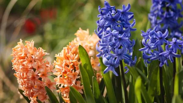 金牛区中高档养老院一暄康养西门分院经验分享,适合春季种植的花草推荐之一:风信子(上)2