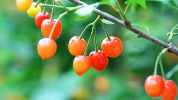 淡化色斑吃这些,成都养老院都说好——水果篇5樱桃