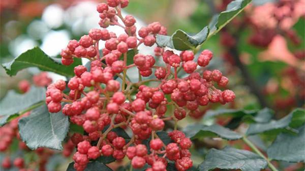 花椒图片1