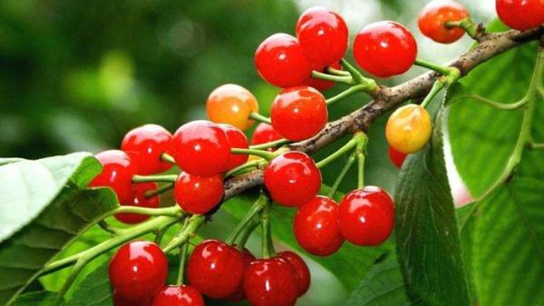 成都养老院经验分享:樱桃正当季,尝鲜要注意——吃樱桃的注意事项1