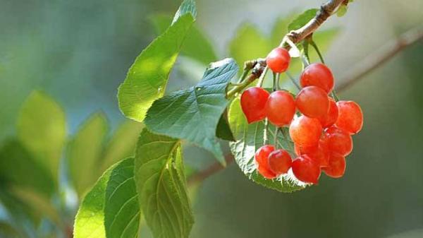 成都高端养老院经验分享:樱桃正当季,尝鲜要注意——吃樱桃的注意事项