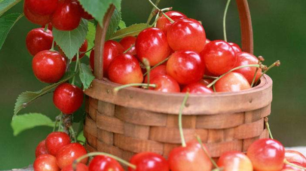 成都养老院经验分享:樱桃正当季,尝鲜要注意——吃樱桃的注意事项2