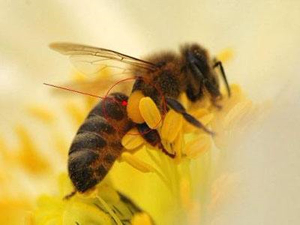 成都养老院-一暄康养推荐蜂王浆的功效与作用-蜜蜂