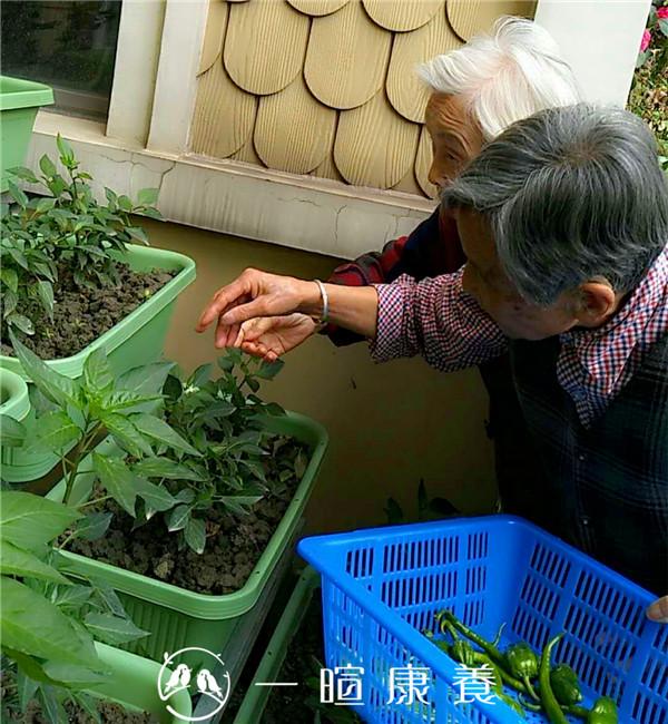 商奶奶与刘奶奶采摘辣椒